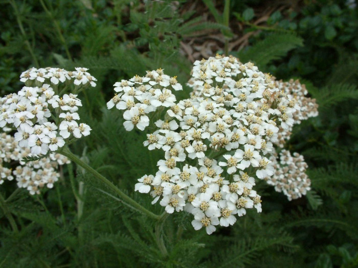 Plant photo of: Achillea millefolium
