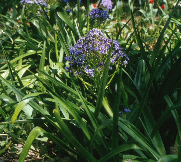 Plant photo of: Scilla peruviana