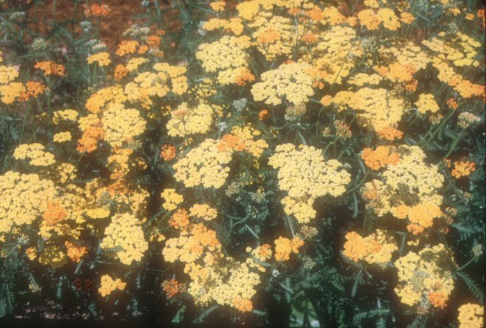 Plant photo of: Achillea millefolium 'Terra Cotta''