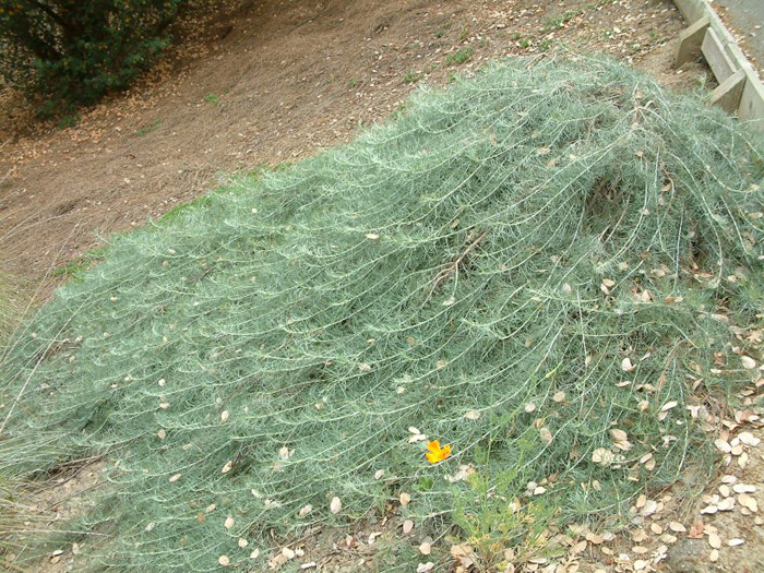 Plant photo of: Artemisia californica 'Canyon Gray'