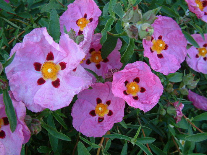 Plant photo of: Cistus X purpureus