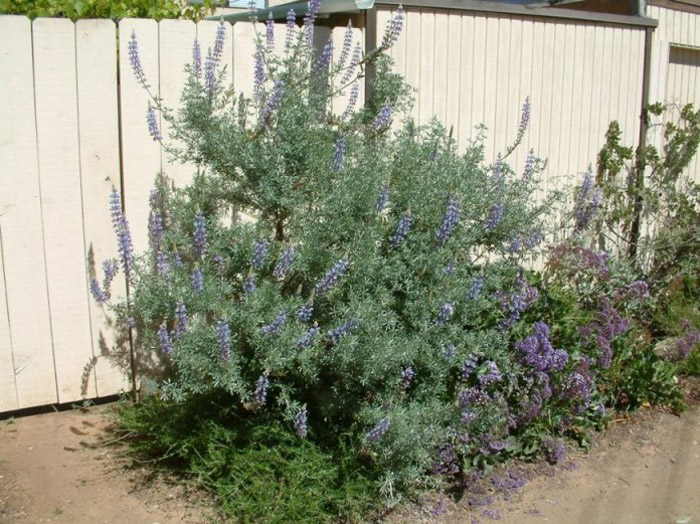 Plant photo of: Lupinus albifrons