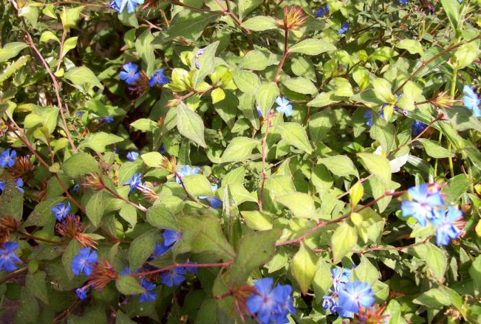 Plant photo of: Ceratostigma griffithii