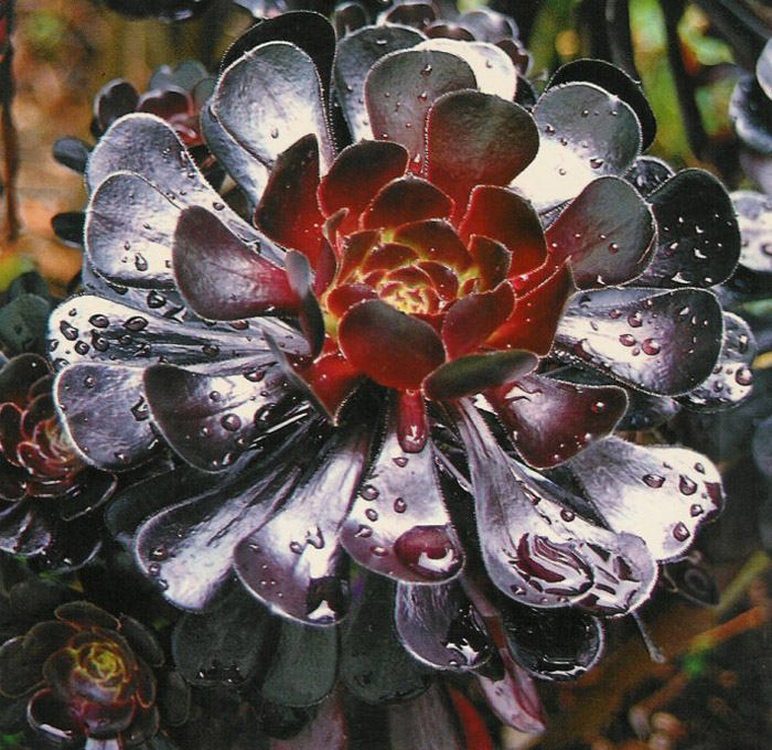 Plant photo of: Aeonium arboreum 'Zwartkop'
