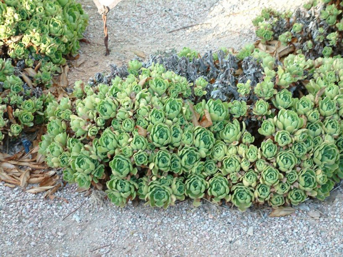 Plant photo of: Aeonium undulatum