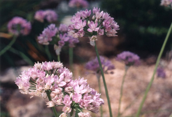 Plant photo of: Allium cv.