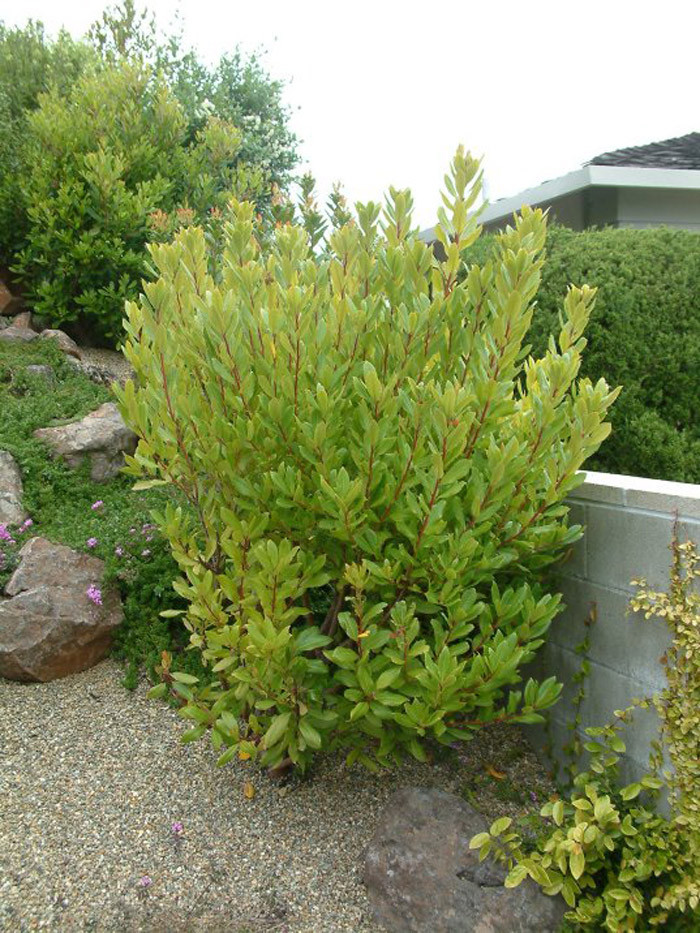 Plant photo of: Arbutus unedo