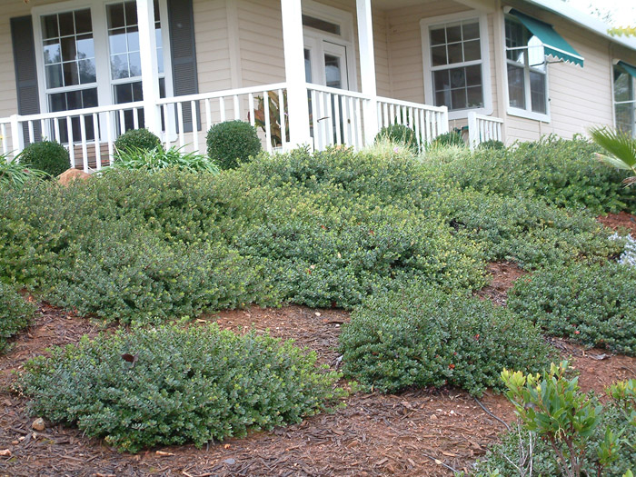 Plant photo of: Arctostaphylos 'Pacific Mist'
