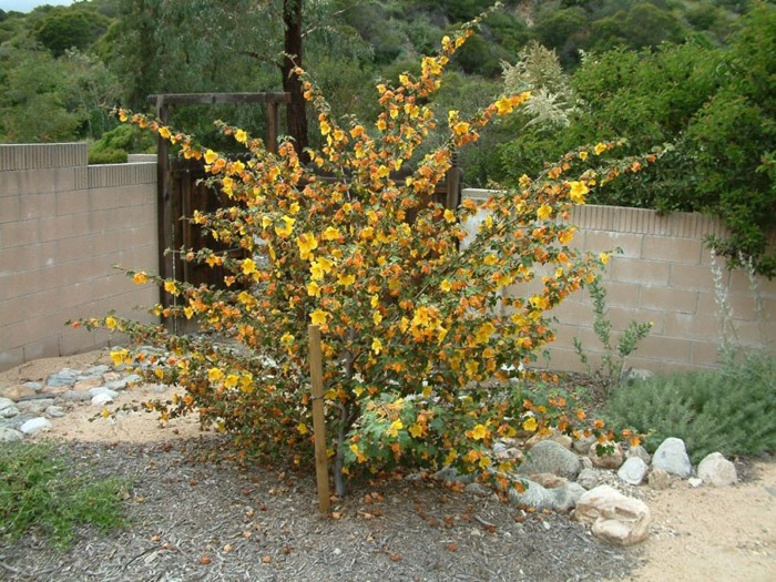 Plant photo of: Fremontodendron californicum