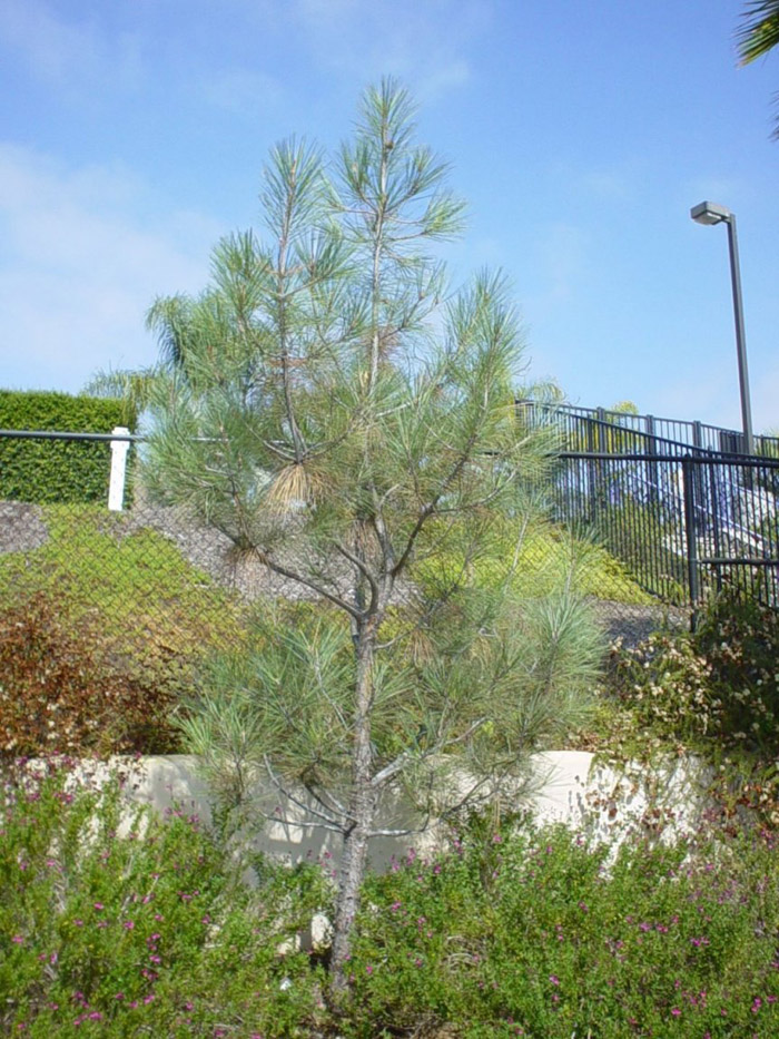 Plant photo of: Pinus sabiniana