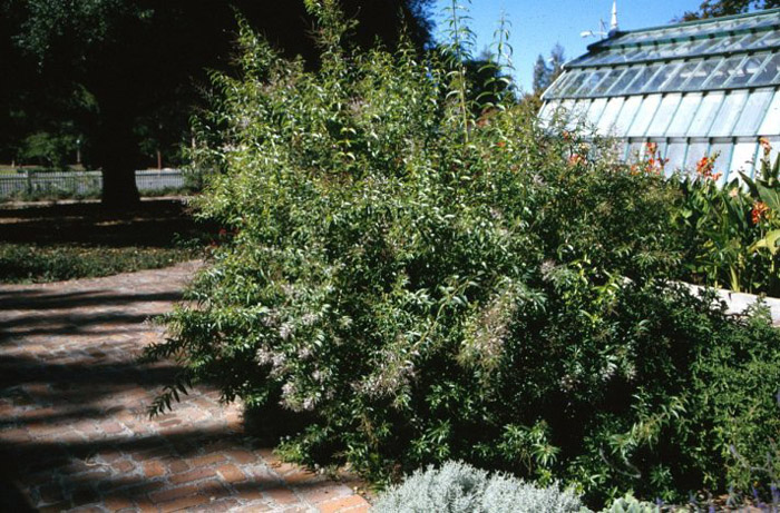 Plant photo of: Aloysia triphylla