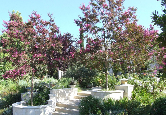 Plant photo of: Lagerstroemia 'Muskogee'
