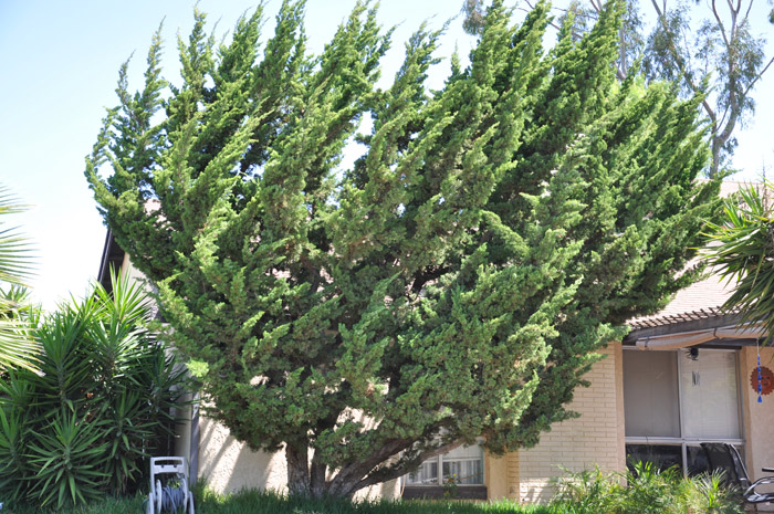 Plant photo of: Juniperus chinensis 'Kaizuka'