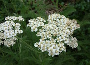 Common Yarrow, Milfoil