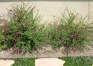 Red Star Autumn Sage