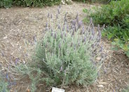 Candicans French Lavender