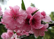 Red Tip Flowering Plum