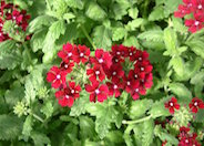 Tapien Bright Red Hybrid Verbena
