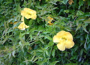 Cat's Claw Vine, Yellow Trumpet Vin