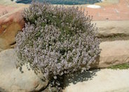 Purple Carpet Creeping Thyme